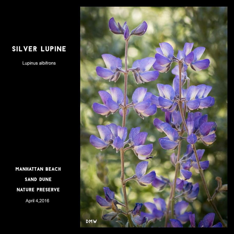 Silver Lupine- Lupinus albifrons, Photography by Dennis White