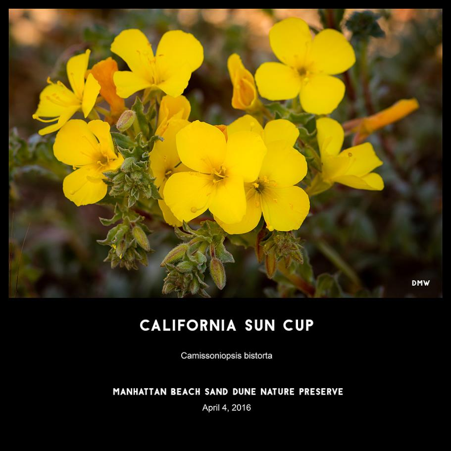 California Sun Cup- Camissoniopsis bistorta, photography by Dennis White