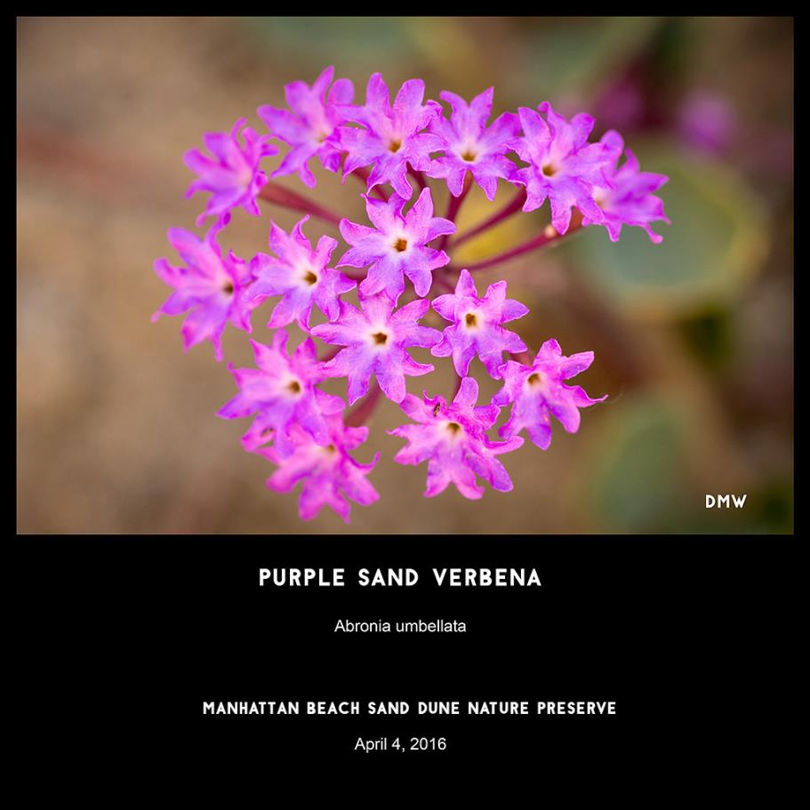Purple Sand Verbena- Abronia umbellata, photography by Dennis White