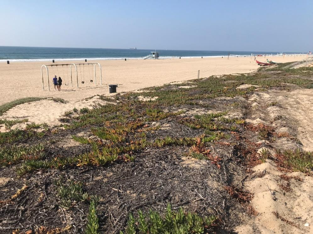 Beach Dune Restoration-Current Condtion 1